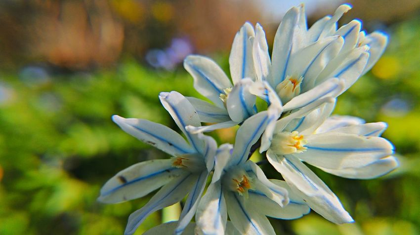 Beauty In Nature Blooming Close-up Day Dortmund Flower Flower Head Focus On Foreground Fragility Freshness Growth In Bloom Nature Outdoors Petal Plant Pollen Rombergpark Scilla Selective Focus Skilla Skilla Flower Stamen Stem White Color