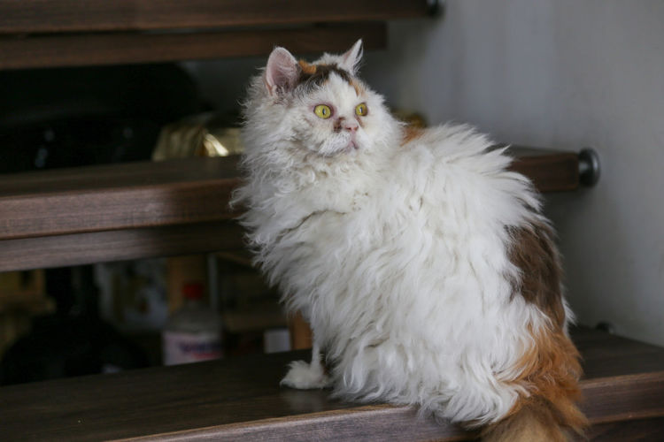 Portrait of white cat sitting on table