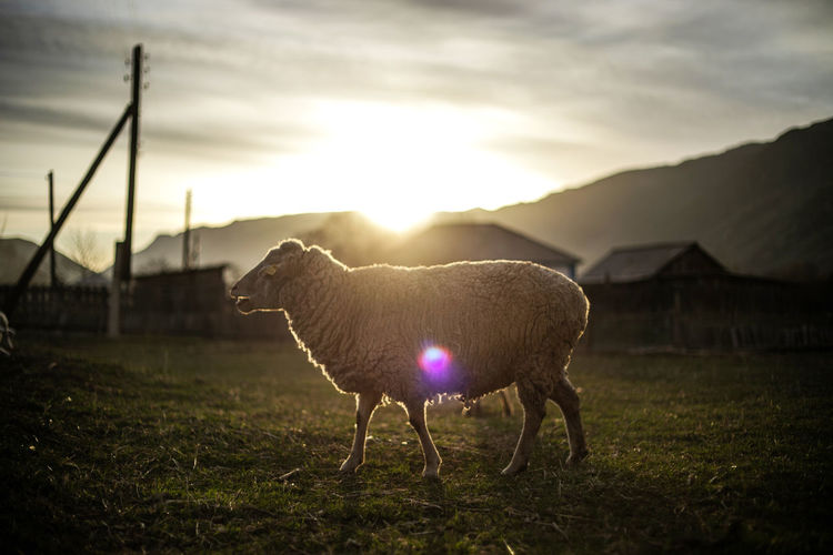 Animal Themes Sky Animal Livestock Vertebrate One Animal Field Sunset Domestic Animals Land Cloud - Sky Nature Pets Domestic Mammal Grass Standing No People Landscape Sheep Sun Outdoors Lens Flare Herbivorous