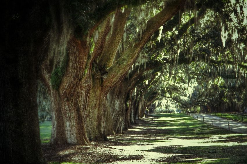 TreePorn Live Oak Light And Shadow Photography