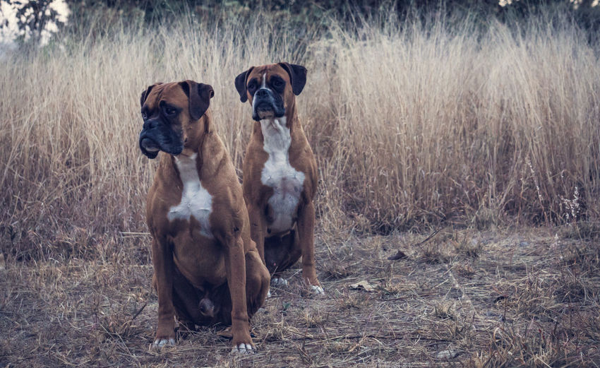 Two Boxer Dogs Outdoors
