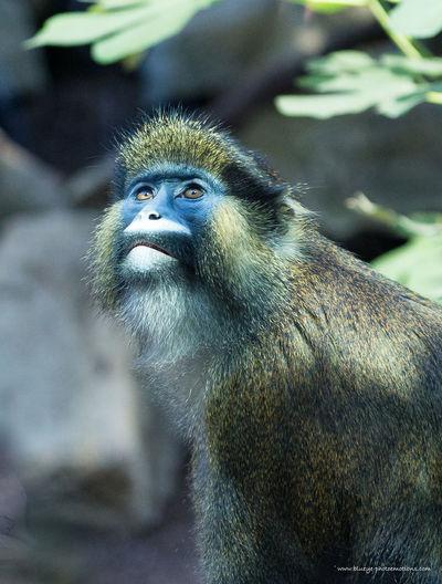 Affe Blaumaulmeerkatze Guenon Monkey Hellabrunn Monkey Primates Tierpark Zoo