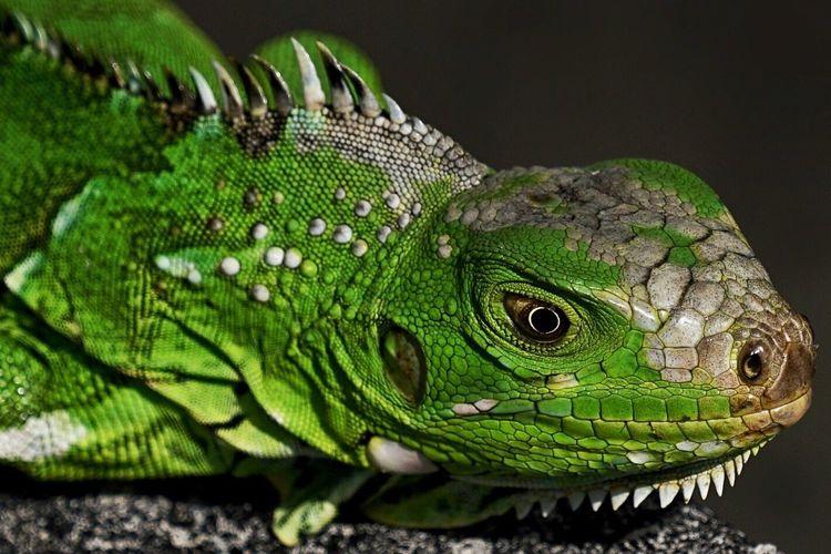 Iguana Green Color Reptile Animals In The Wild Animal Wildlife Close-up Iguana