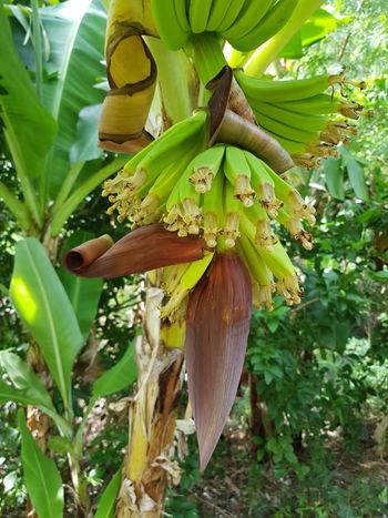 Banana Tree Green Color Plant Leaf Tahiti Ilsland