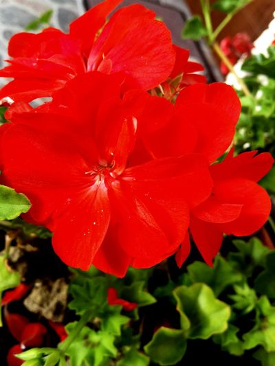 Red Flower Plant Nature Flower Head No People Beauty In Nature Day