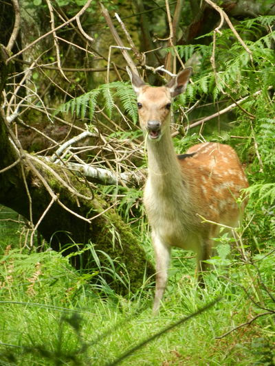 Alertness Animal Head  Animal Photography Animal Themes Close Up Deer Deer Sighting Killarney  Mammal Portrait Sika Deer