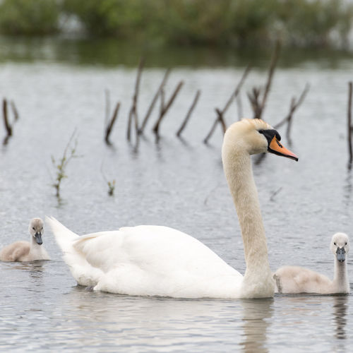 Close-Up Of Swan Family Swimming On Lake