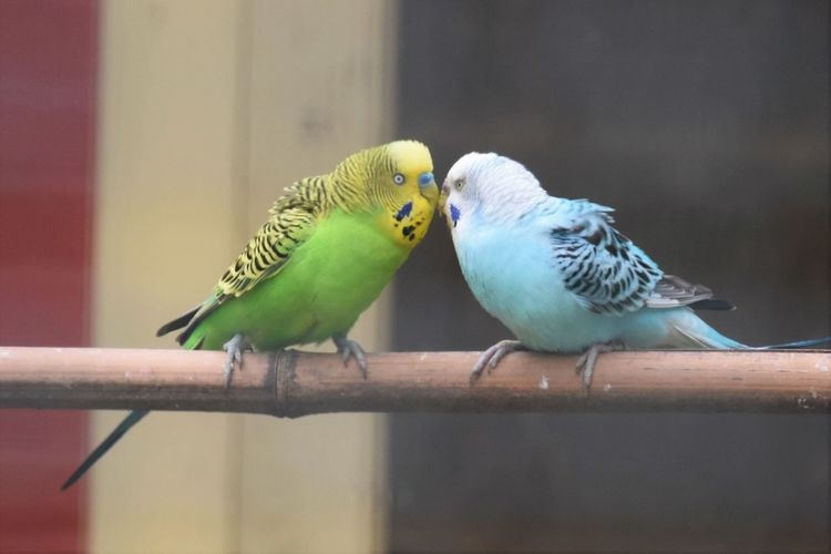 Animal Animal Themes Animal Wildlife Animals In The Wild Bird Budgerigar Close-up Day Focus On Foreground Group Of Animals Nature No People Outdoors Parakeet Parrot Perching Selective Focus Togetherness Two Animals Vertebrate