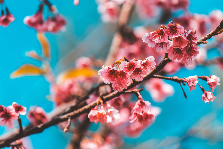 Close-up of pink cherry blossom plant