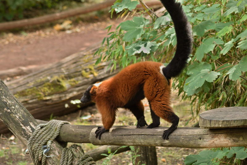 Ape Animal Animal Hair Animal Themes Animal Wildlife Animals In The Wild Branch Day Forest Full Length Land Mammal Monkey Nature No People One Animal Outdoors Plant Red Ruffed Lemur Tree Vertebrate Walking Wood - Material