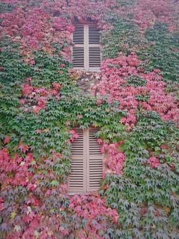Langhe Autumn Autumn Colors Autumn Leaves Ivy Covered Ivy Leaves Textures And Surfaces Building Exterior Architecture No People Window Built Structure Day Outdoors Growth Nature
