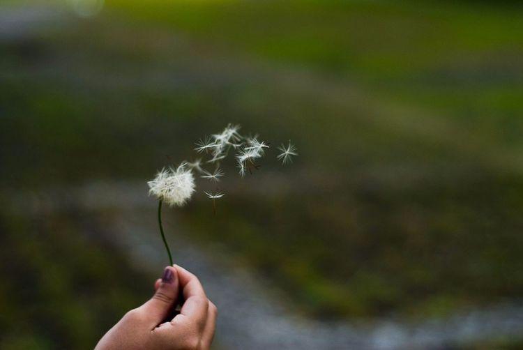"""""""sopro da mudança"""" Taraxacum Officinale Dente-de-leão Dandelion Blow Wind Girlfriends Experiment Nikonphotography Nikon Flower Head Dandelion Seed Nikon D200 D200 50mm Plant Close-up Nature Hand"""