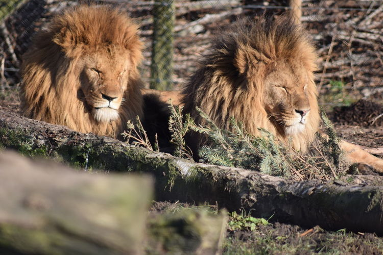 Animal Themes Animals In The Wild Captivity Day Lion Mammal No People Outdoors Relaxation Wildlife