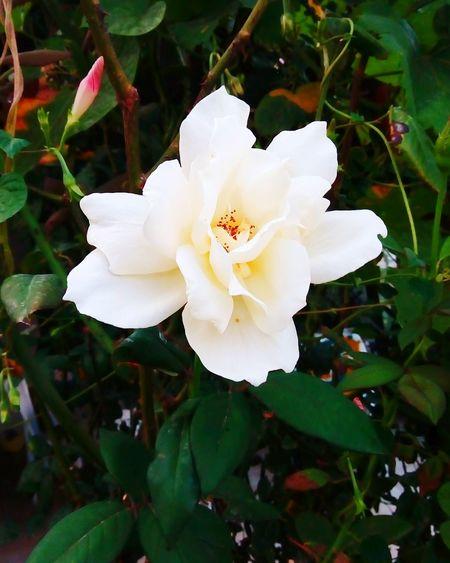 Nature Flower White Color Beauty In Nature Rose🌹 Summer Summertime Summer2016 First Eyeem Photo Medusangel