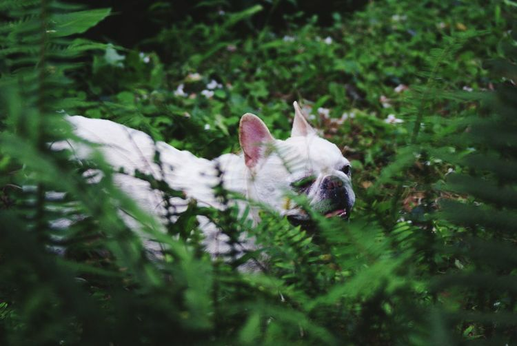 The Great Outdoors - 2016 EyeEm Awards Nature The Great Outdoors With Adobe French Bulldog Animal Themes Green Nature Green Leaves Animals In The Wild 鐵蛋 Nature's Diversities Pet Portraits