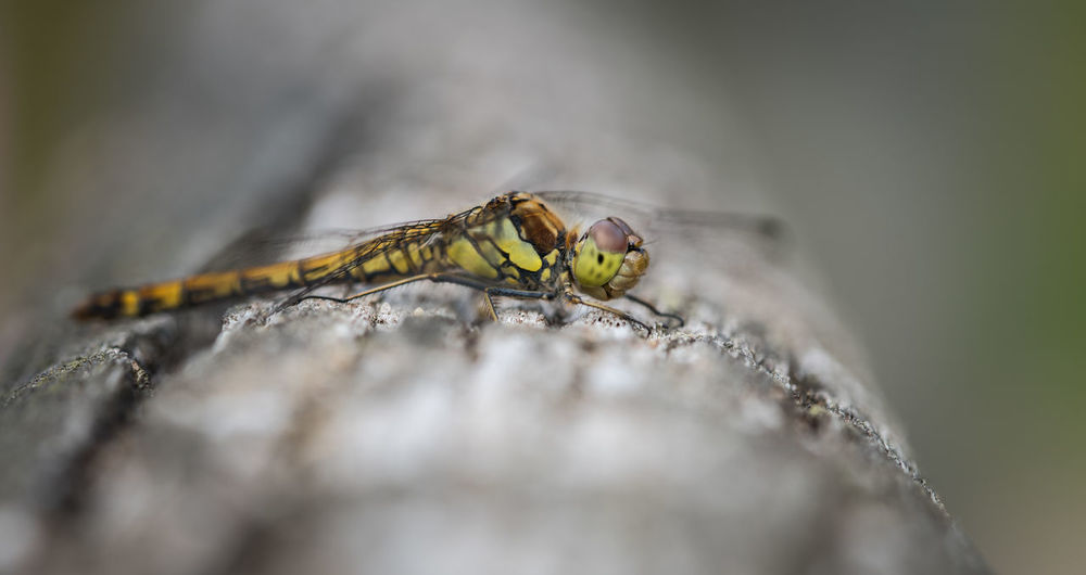 Dragonfly Macro / Close Up Beautiful Nature Dragonfly Horizontal Macro Photography Makro Natural Light Nature Sitting Wood Close-up Closeup Daylight Dragonflies Focus On Foreground Focused Freigestellt Insect Insects  Macro Outdoor