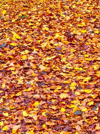 Autumn Change Backgrounds Leaf Full Frame Dry Nature Abundance Leaves Beauty In Nature Natural Condition Fallen Maple Leaf No People Fragility Yellow Tranquility Maple Many Close-up