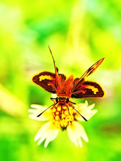 moth brown
