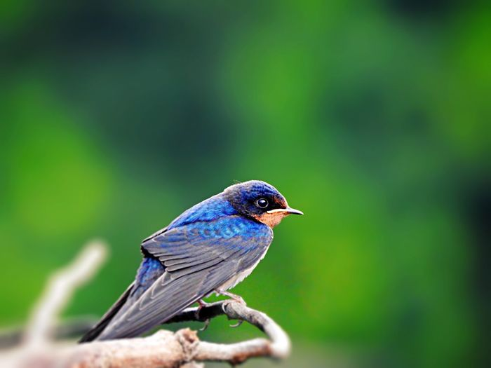 Close-up of swallow perching on branch