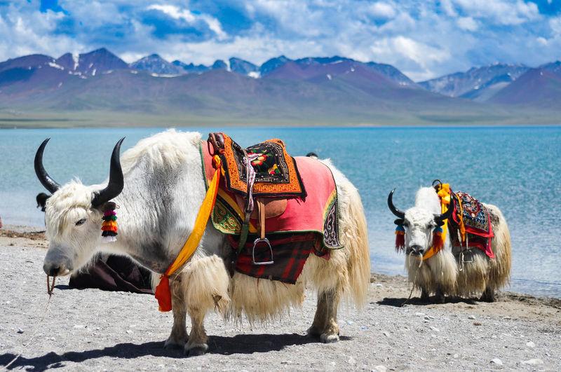 Two yaks on lakeshore in tibet