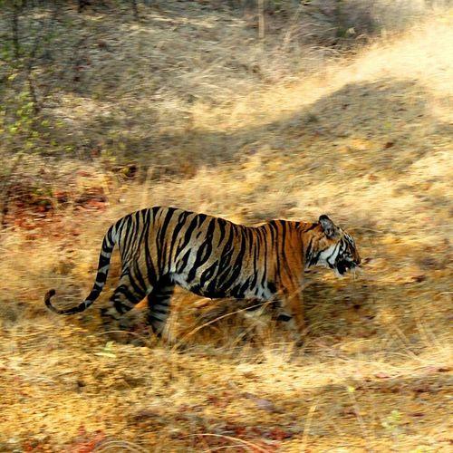 EyeEmNewHere Tigeress Junglesafari Jungle Trips Safari Animals Animal Wildlife Nature