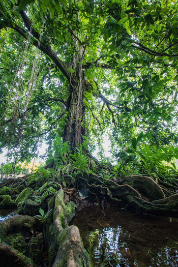 a rainforest tree on tahiti French Polynesia Travel Beauty In Nature Branch Day Foliage Forest Green Color Growth Land Low Angle View Lush Foliage Nature No People Outdoors Pacific Ocean Plant Plant Part Rainforest Scenics - Nature Tranquility Tree Tree Trunk Trunk WoodLand The Traveler - 2018 EyeEm Awards