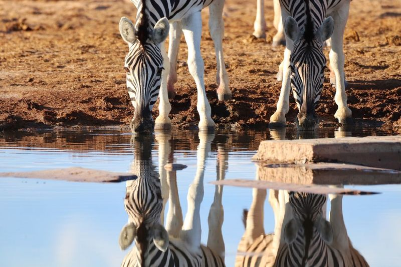 Zebra Water Animal Animal Themes Reflection Animal Wildlife Mammal Nature Vertebrate Animals In The Wild Group Of Animals Lake Drinking Herbivorous Sunlight