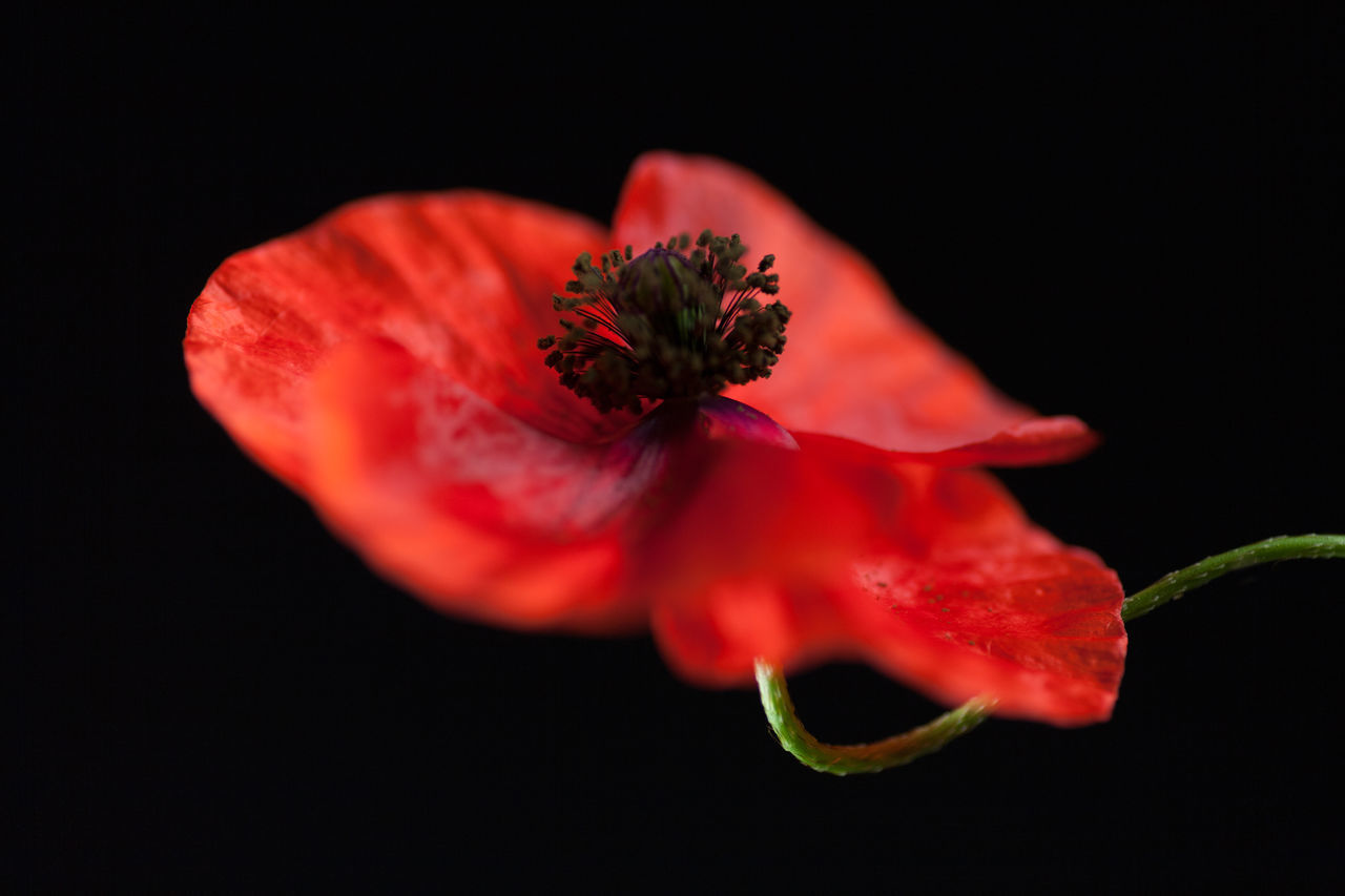 flower, flowering plant, freshness, petal, plant, beauty in nature, red, black background, close-up, inflorescence, fragility, flower head, vulnerability, studio shot, no people, pollen, indoors, growth, nature