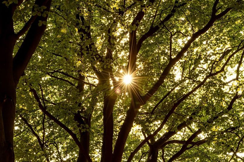 sunrays Tree Sunlight Sun Low Angle View Beauty In Nature Sunbeam Nature Lens Flare Forest Scenics - Nature
