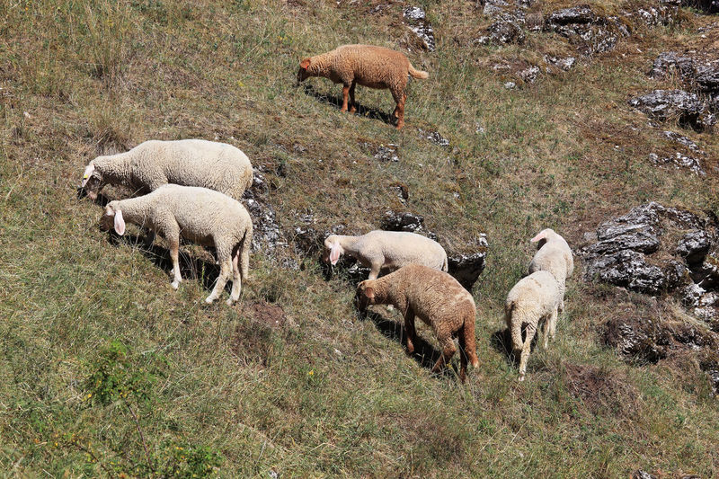 Grazing Sheep Pasture Agriculture Animal Animal Family Animal Themes Day Domestic Domestic Animals Field Flock Of Sheep Grass Grazing Group Of Animals Herbivorous Herd Land Large Group Of Animals Livestock Mammal Nature No People Paddock Pets Plant Sheep Sheeps Vertebrate