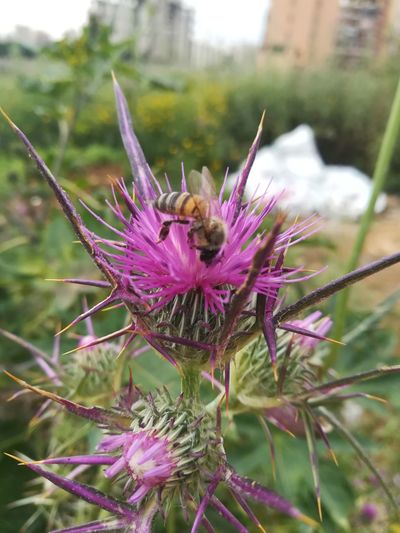 Nature Flower Head Flower Thistle Pollination Insect Purple Bee Close-up Plant Butterfly - Insect Flowering Plant Lavender Symbiotic Relationship Eastern Purple Coneflower Wildflower Lantana Animal Antenna Crocus Botanical Garden Passion Flower Uncultivated Grasshopper Dandelion Dandelion Seed Arthropod Animal Markings Coneflower Zinnia  Lavender Colored