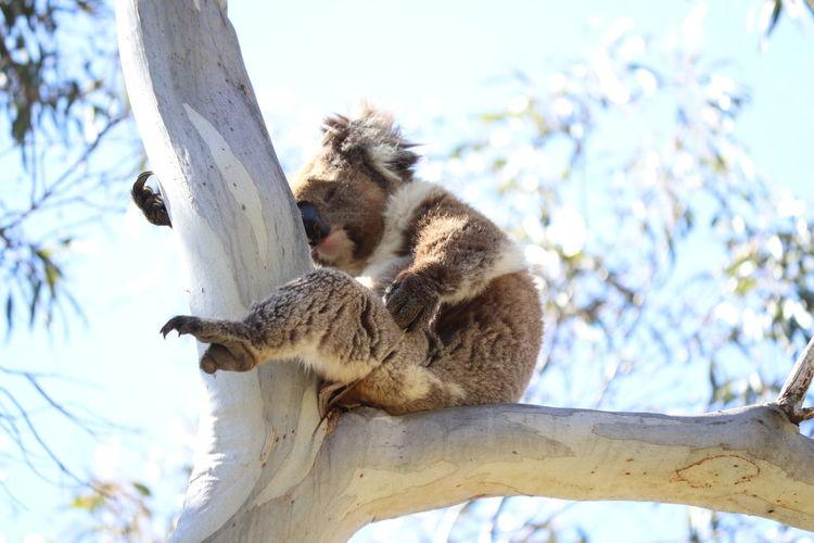 Animal Love Australia Cute Australia Australian Wildlife Naturelovers Nature Walk Wildlife Native Animals Koala In Tree EyeEm Selects Koala Tree Branch Tree Trunk Sky Close-up Paw Sleeping Napping