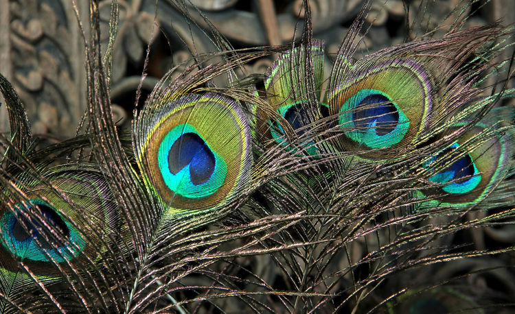 Beautiful peacock feathers in Thailand. Backgrounds Wood Thailand Helathcare Wooden Relaxation Beautiful Relax Happiness Thai Style China Chinese New Year Fortune Good Luck Peacock Peacock Feather Close-up Animal Wildlife One Animal Animals In The Wild Animal Themes Feather  Nature No People Beauty In Nature Focus On Foreground Fragility Day Outdoors Bird