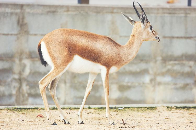 Dorcas gazelle side view Animal Dorcas Gazelle Gazelle Mammal Side View Wildlife