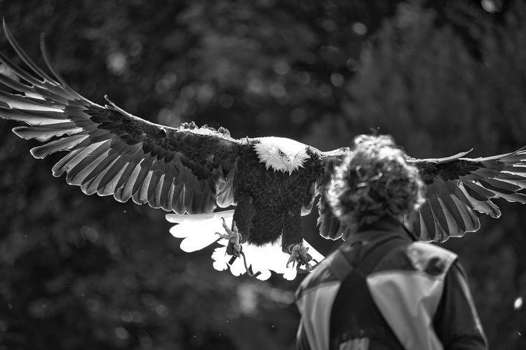 A bald eagle is landing - falconry