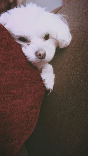 Cute Pets White Dog Dog Pets Adorable Red And White Brown And White Peekaboo Small Dogs  Things I Like The Portraitist - 2016 EyeEm Awards