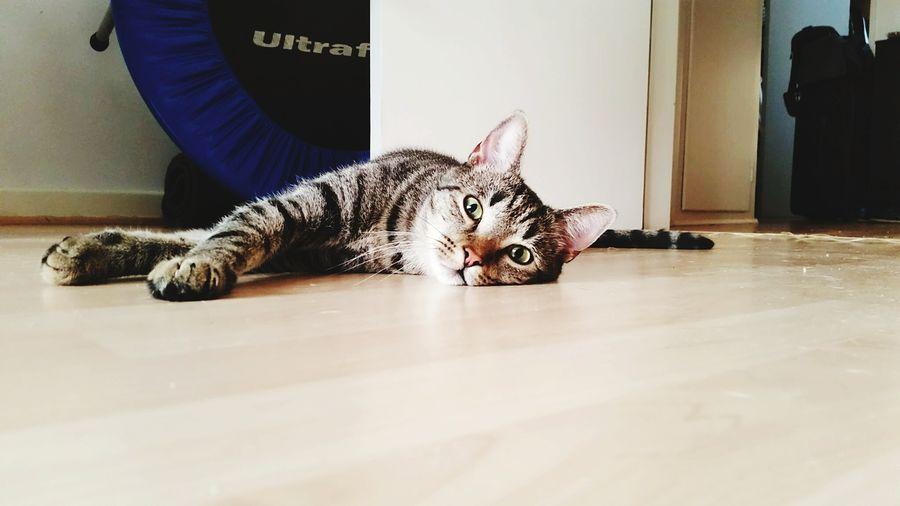 Housecat Cimbom