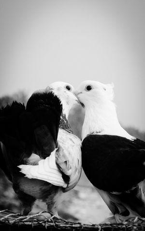 Dove Love Bird Close-up