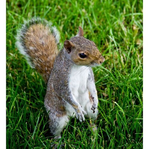 Animallovers Animalsofinstagram Animal Animals London Ig_photooftheday Ig_animals Ig_animalpics Nature Natur Wildlife Wild Squirrel Our Best Pics Igdaily#igfame#swag#illest#supreme#stussy#snapback#chicago#bulls#dope#obey#thehundreds#tflers#followforfollow#likeforlike#tagfortagfollowmefollowmeasap [a: