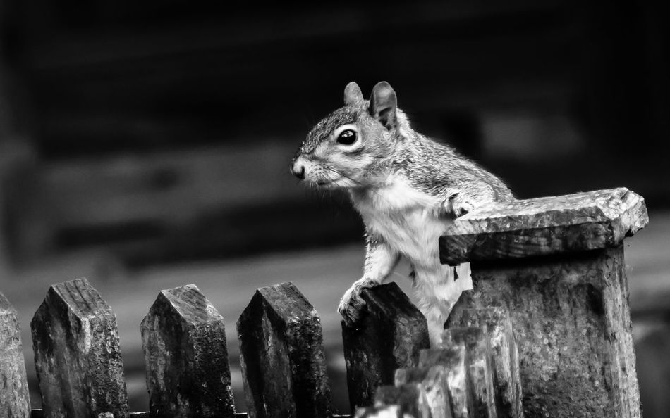 Squirrel climbing on the wooden fence rails pauses for a second for his photo... cheers squirrel. Squirrel Animal Themes Animal Wildlife Animals In The Wild Black And White Photography Close-up Day Hunting Mammal Nature No People One Animal Outdoors Searching Squirrel Wood - Material