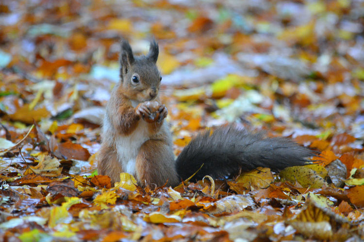 Close-up of squirrel eating fruit on field during autumn