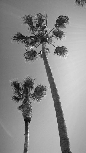 Palm Trees SW