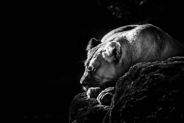 Lioness sleeping on rock