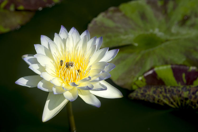 Close-up of white lotus water lily