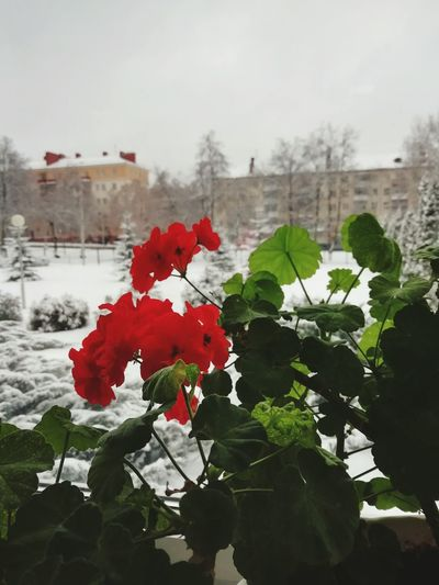 Flower Winter Water Snow Red Cold Temperature City Tree Flower Head Close-up In Bloom Foggy Petal Single Rose Botany