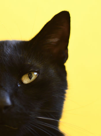 BR #100 Shades Of Yello #Background #cat #yellow Close-up Domestic Cat Indoors  No People Pets Portrait Yellow Eyes