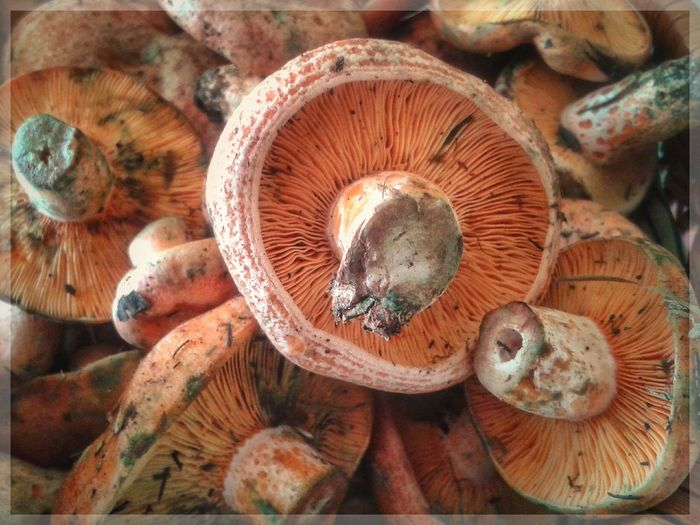 Funghi di pino. Lactarius Deliciosus Lactariusdeliciosus Funghi Di Pino Mushrooms Autumn Mobilephotography S3 Mini Smartphone Photography Orange Color Fungus Mushroom Close-up Edible Mushroom Edible Mushroom Edible Mushroom Edible Mushroom