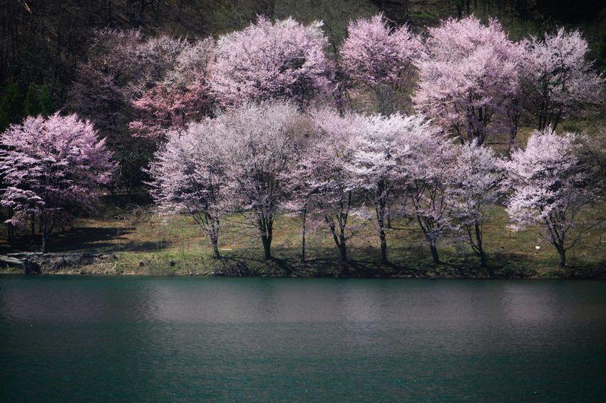 🌸🌸🌸💦💦💦 Cherry Blossoms EyeEm Water Shots Water_collection Landscape Nature EyeEm Best Shots - Landscape Water Reflections EyeEm Nature Lover ISOPIX Dedicate To @intreccio