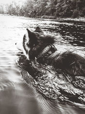 Domestic Animals Day No People Outdoors Nature Swimming Animal Wildlife One Animal Water Animals In The Wild Animal Themes Summer Black & White Blackandwhite Photography Blackandwhite Monochrome Photography Dogs Of EyeEm Dogs Dogslife Dog Of The Day Syberian Husky Syberianhusky