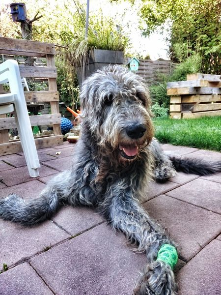 Willi💜 Animal Themes Domestic Animals Pets Dog Close-up Zoology Outdoors Animal Nose Smiling Boy Smiler Dogs Life Gentle Giant. Loving Willi The Wolfhound Dogs Of EyeEm Dogs Irish Wolfhound Animal Baby Boy ♥ Pampered Pets Looking At Camera Paw